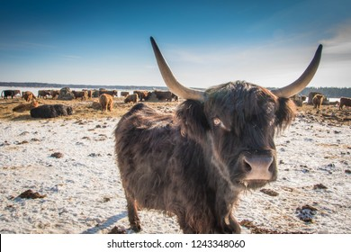 Cattle on the field in sunny winter day.