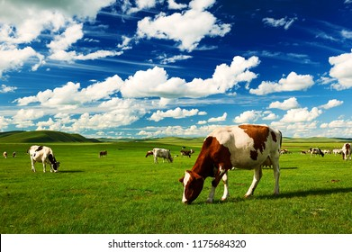 The cattle on the Hulunbuir summer grassland.