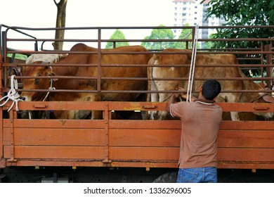 Cattle on lorries to move from one place to another.
