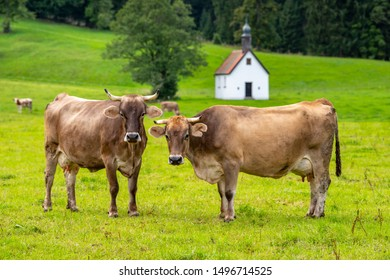 cattle on meadow in Bavaria, Germany
