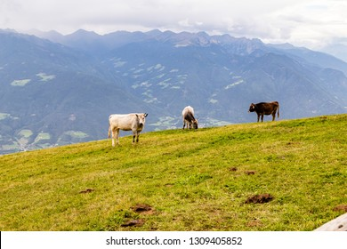 cattle on meadow, south tyrol, italy