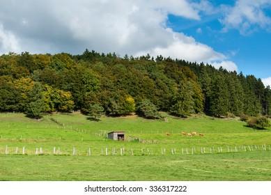 Cattle on the meadows in the Hasenkammer beneath the Winterkopf near Medebach in Hochsauerland