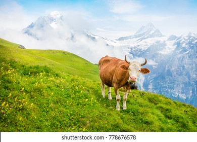 Cattle on a mountain pasture. Colorful morning view of Bernese Oberland Alps, Grindelwald village location. Schreckhorn summit in the morning mist. Switzerland, Europe. Instagram filter toned.