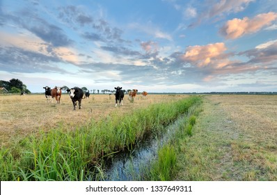 cattle on pasture close to river in summer