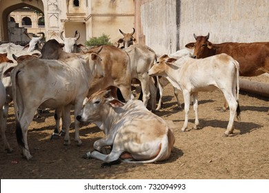 Cattle outside the Galtaji temple complex, Jaipur, Rajasthan, India
