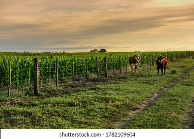 Cattle in pampas countryside, La Pampa, Argentina.
