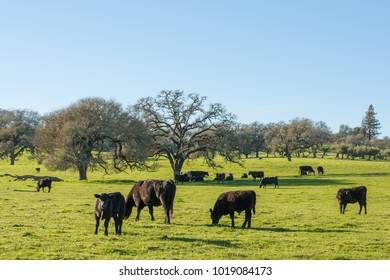 Cattle in pasture with Oak trees. Sonoma County, California.