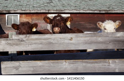 Cattle peeking over a fence old battered fence and barn cows looking for a way pout