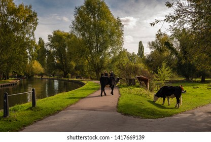Cattle and people exist in harmony on Coe Fen in Cambridge