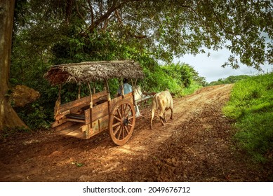 Cattle pulling the old cart