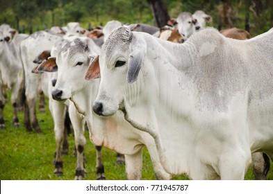 Cattle raising In Mato Grosso do Sul Brazil