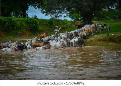 ganadería en las llanuras colombianas lideradas por vaqueros