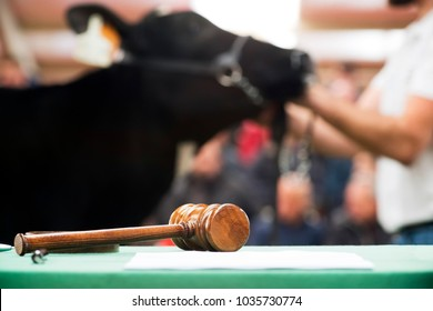 cattle in sale , cows calves  auction with public