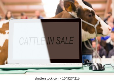 cattle in sale with cows and calves in auction , mallet gavel