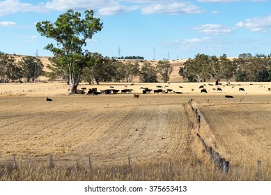 Cattle Scene in Summer, Victoria, Australia