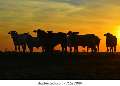 Cattle silhouette in Paraguay