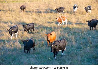 Cattle in southern Chile, X Region de Los Lagos, Chile