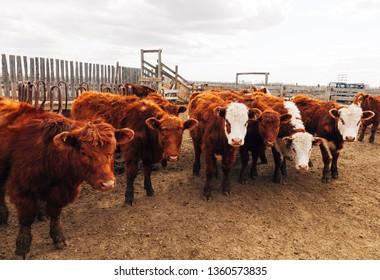 Cattle standing in a feedlot