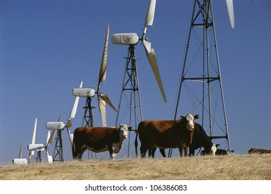 Cattle standing with wind turbines