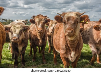 Cattle at Stonelaws, East Lothian, Scotland.
