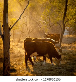 Cattle in the sunlight. Evening light streams through trees on a herd of cows, Golden hour light beams on herd of cattle.