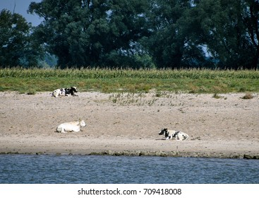 cattle sunning on beach sand along the Rhine River in the Netherlands