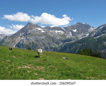 Cattle in the Swiss Alps
