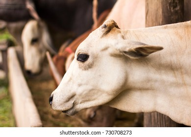 Cattle in Thailand