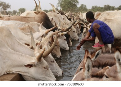 Cattle of thirsty cows drinking in North of Senegal during the dry season