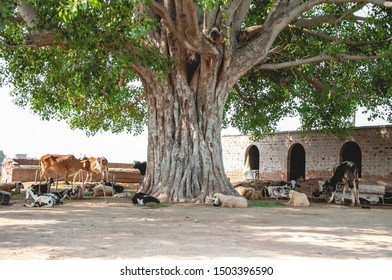 Cattle under the shadow of the Pipal tree
