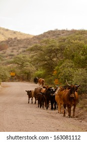 Cattle walking along a gravel road in the Peloncillo Mountains