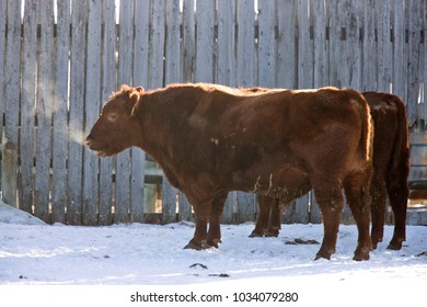 Cattle Winter Cold breath vapor in Saskatchewan Canada