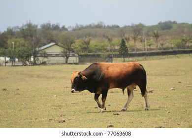 Cattle in Yards