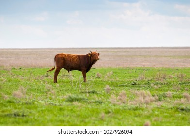 Cattle,colloquially cows,are the most common type of large domesticated ungulates. They are a prominent modern member of the subfamily Bovinae, are the most widespread species of the genus Bos taurus.