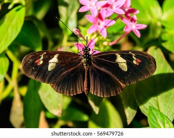 Cattleheart Butterfly (Parides iphidamas)