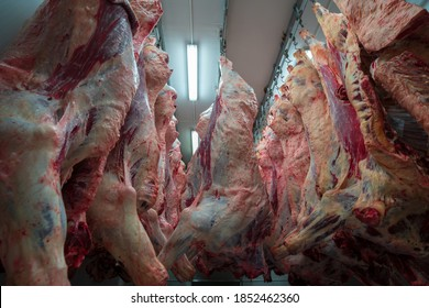Cattles cut and hanged on hook in a slaughterhouse. Halal cutting.Cow meal in slaughter house.Slaughterhouse meat processing plant cut marble beef.A lot of frozen carcasses hanging in hook cold store.