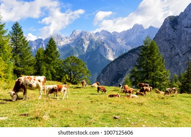 Cattles grazing grass with view of the Julian Alps from the Vrsic Pass, Slovenia