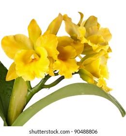 Cattleya auera. Unsharpened file