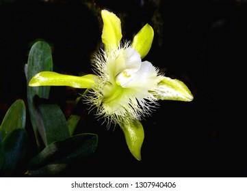A Cattleya Brassavola Rhyncholaelia Digbyana Dragonstone Orchid.