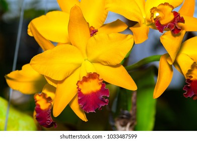 Cattleya Jomthong Dellight is an orangey yellow orchid. The flower has yellow and purple-red lip. The starfish-shaped bloom is a shade of yellow and orange.