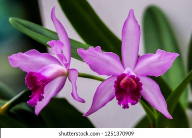 cattleya labiata pink orchid blurry background