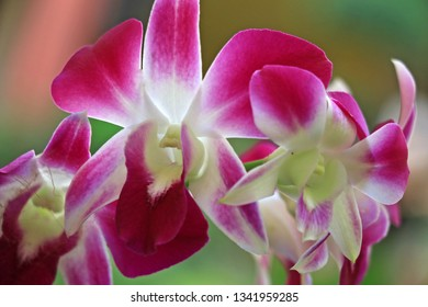 Cattleya is one type of orchid, this orchid grows on tree trunks