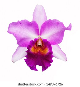Cattleya orchid pink isolated on white background