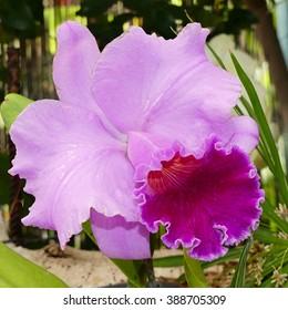Cattleya percilviana 'Sumit'. A species orchid