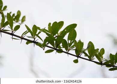 Catunaregam Spathulifolia Images Stock Photos Vectors Shutterstock