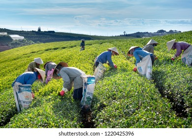 Cau Dat tea farm, Da Lat Town, Vietnam - October 12, 2018: Workers of the tea farm are harvesting tea leaves in the early morning at the Cau Dat tea farm in Da Lat Town, Vietnam