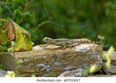 Caucasian agama (Paralaudakia caucasia) is a species of agamid lizard found in the Caucasus, - Georgia, Armenia, Azerbaijan - Shutterstock ID 607553417