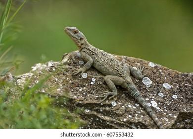 Caucasian agama (Paralaudakia caucasia) is a species of agamid lizard found in the Caucasus, - Georgia, Armenia, Azerbaijan - Shutterstock ID 607553432