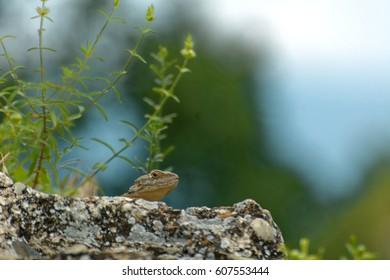 Caucasian agama (Paralaudakia caucasia) is a species of agamid lizard found in the Caucasus, - Georgia, Armenia, Azerbaijan - Shutterstock ID 607553444