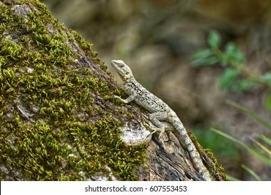 Caucasian agama (Paralaudakia caucasia) is a species of agamid lizard found in the Caucasus, - Georgia, Armenia, Azerbaijan - Shutterstock ID 607553453